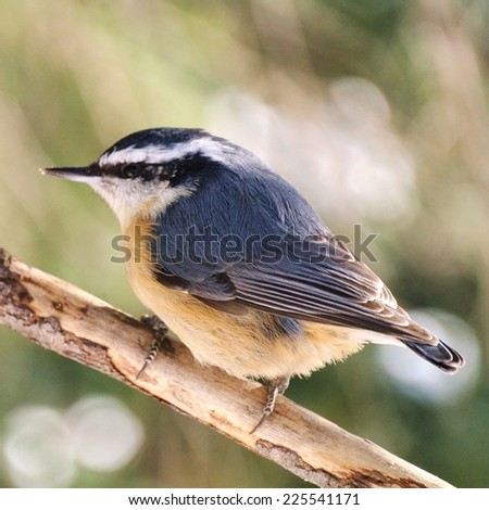 A little bird with a black and white striped head sitting on a branch. - stock photo