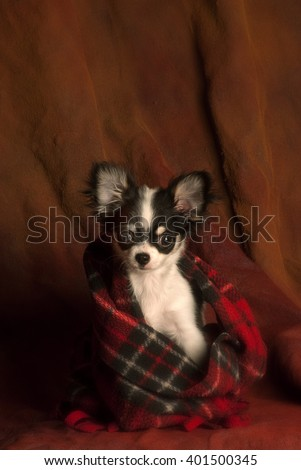 a little black & white chihuahua puppy wrap in a red plaid scarf  looking a bit sad, sitting on a dark textured, reddish brown backdrop - stock photo