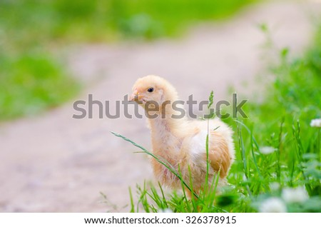 a little chickens on a grass, outdoor - stock photo