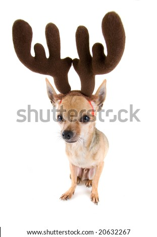 a little chihuahua with antlers on - stock photo
