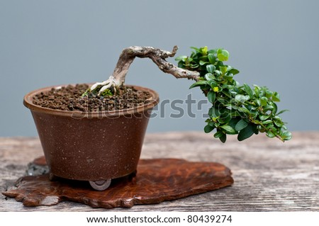 A little cotoneaster as bonsai tree