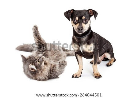 A little Dachshund mixed breed dog annoyed with a frisky cat that is trying to play with him - stock photo
