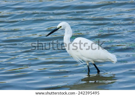 A Little Egret Walking And Finding Fish in The Shallow Water of A Lake. The Wavy Water Reflect The Blue Color From The Sky, With Water Plant Floating on The Surface.  - stock photo