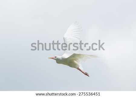 A Little Egret which is a small white Hernon in mid flight - stock photo