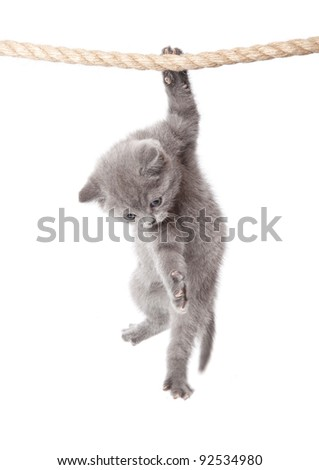 a little funny scottish fold kitten is hanging on the rope. isolated on a white background - stock photo