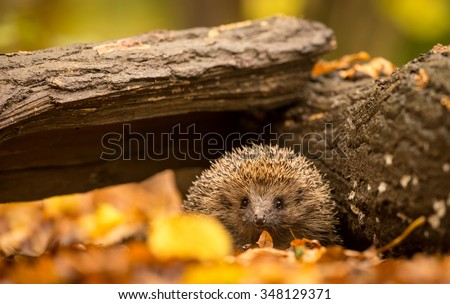 A little hedgehog walking through autumn leaves straight at the camera - stock photo