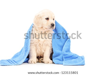 A little labrador retriever dog covered with blue towel isolated on white background - stock photo
