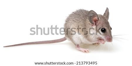 a little mouse on a white background - Acomys cahirinus - stock photo