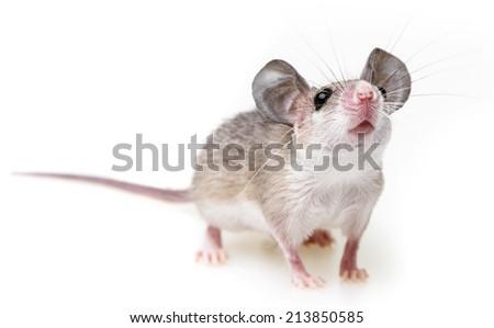 a little mouse on a white background (acomys cahirinus) - stock photo