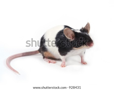 a little mouse on white background - stock photo