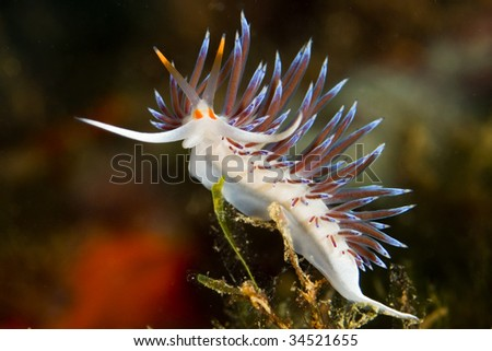 a little nudibranch in mediterranean sea - stock photo