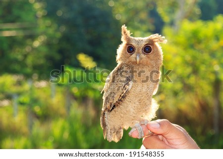 A Little Owl - stock photo