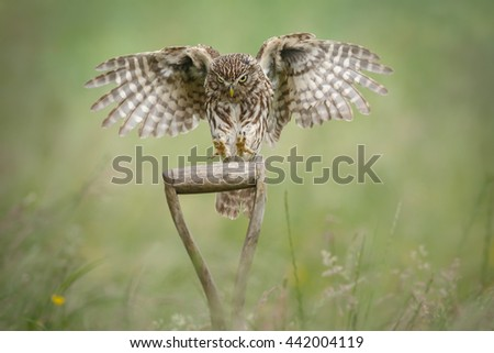 A little owl coming in to land on a working farm - stock photo