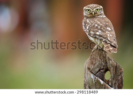 A little owl on an old post looking at the camera - stock photo