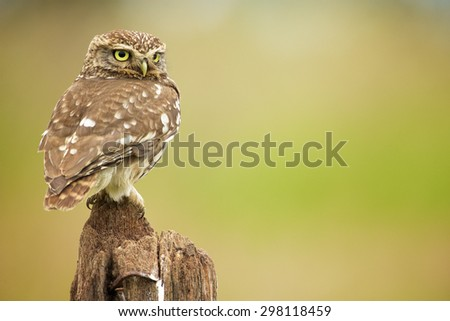 A little owl on an old post looking over his shoulder - stock photo