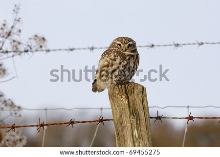 A little owl perched on a fence post - stock photo