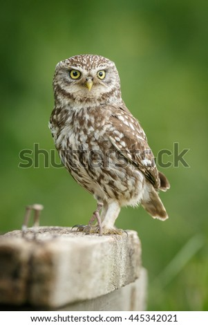 A little owl perched on wooden planks in British farmland - stock photo