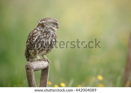 A little owl perched upon a spade  - stock photo