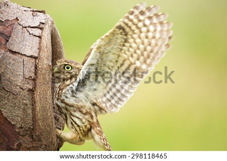 A little owl with its wings up - stock photo