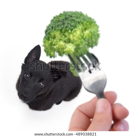 A little puppy is begging for healthy food on a fork with an isolated white background for a dog nutrition or hunger concept.