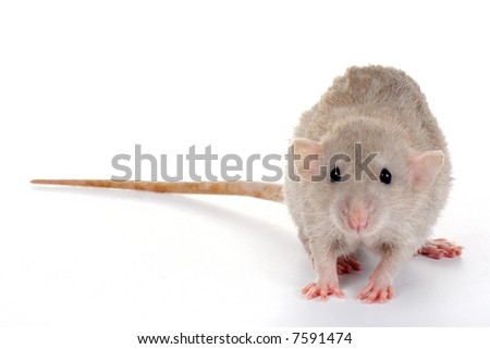 a little rat isolated on white background