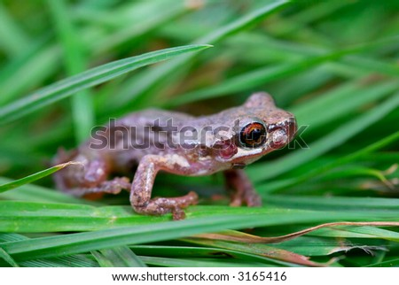 a little red eyed bleating tree frog (litoria dentata) in the grass - stock photo