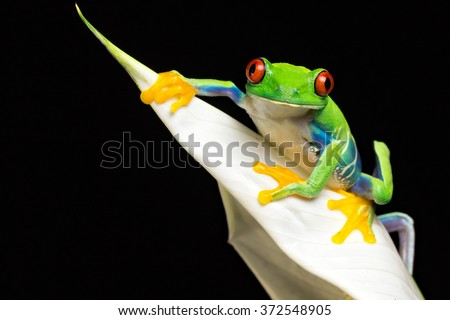 A little red eyed tree frog smiling at the camera - stock photo