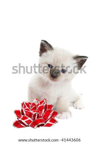 A little, Snowshoe Lynx-point Siamese kitten sitting next to a red and silver foil bow.  Shot against white background.