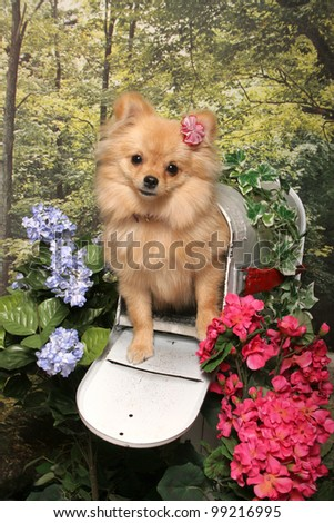 A little tan long haired chihuahua dog stands in an open mailbox in a flower garden - stock photo