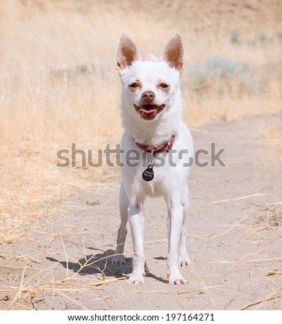 a little white chihuahua waiting for his owner - stock photo
