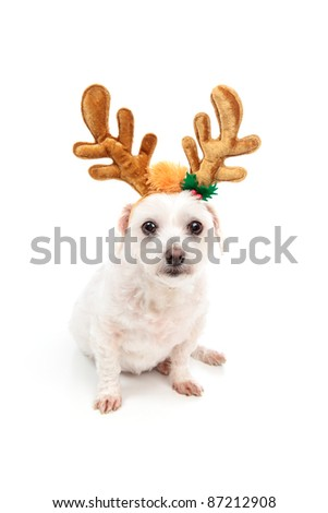 A little white maltese terrier sitting down and wearing antler ears decoration.  White background.