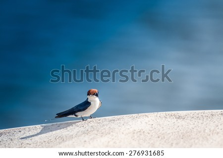 A little wired tailed swallow sits and rests  on the edge of a white fiberglass river boat.The blue water of the river shows behind the bird. - stock photo