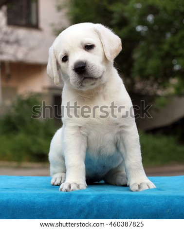 a little yellow labrador puppy sitting on blue background