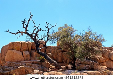 A living and a dead mesquite tree growing out of a unique rock formation on the Hidden Valley Picnic Area Trail in Joshua Tree National Park, Twentynine Palms, California, USA