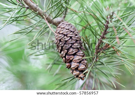 A loblolly tree with a pine cone. Selective focus. - stock photo