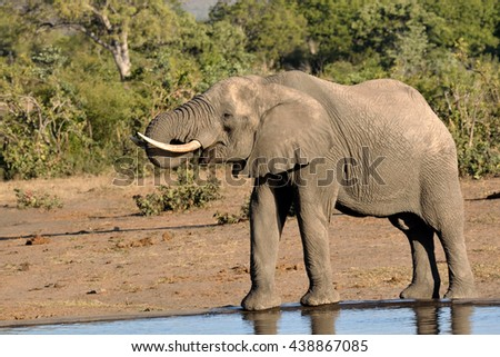A lone African elephant bull drinking water at a remote waterhole - stock photo