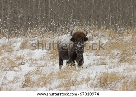 A lone American Bison (Bison bison) from Elk Island National park in Alberta Canada - stock photo