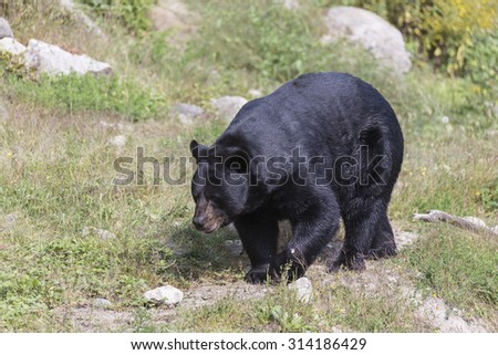 A lone and large black bear