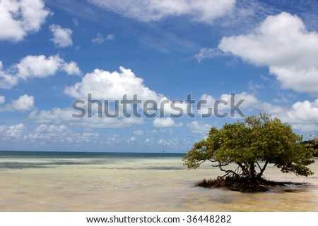 A lone Black Mangrove tree grows in the shallow water at Anne's Beach in the Florida Keys. - stock photo