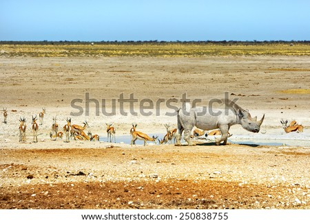 A lone black rhino with springbok at a waterhole in the Etosha National Park - stock photo