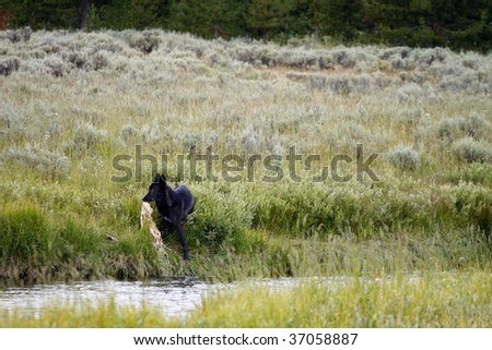 A lone black wolf pulls a carcass out of a river in Yellowstone National Park. - stock photo