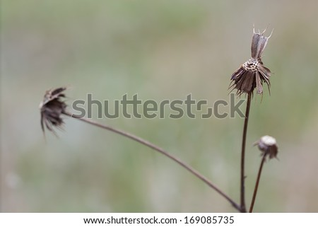 A lone bootjack cluster slowly dies of in the meadow. Its remaining handful of seeds wait for an unsuspecting passer-by to carry them across the grassland. - stock photo