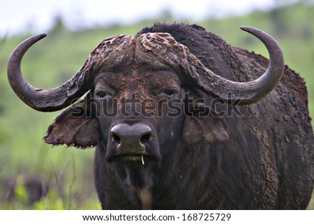A lone buffalo in a South African game reserve. - stock photo