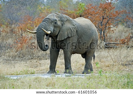A Lone Bull Elephant drinks in the remote African Bush - stock photo