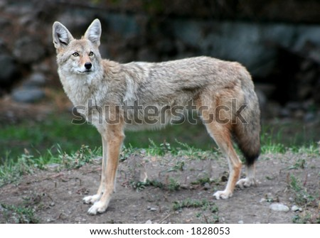 a lone coyote - stock photo