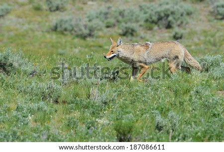A lone coyote hunts the valleys of Yellowstone National Park. - stock photo