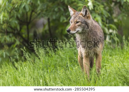 A lone coyote in a forest - stock photo