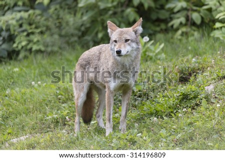 A lone coyote in the forest during the fall season - stock photo