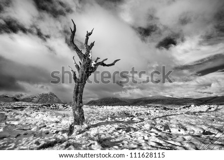A lone dead tree on a snow covered Rannoch moor in the Scottish highlands - stock photo