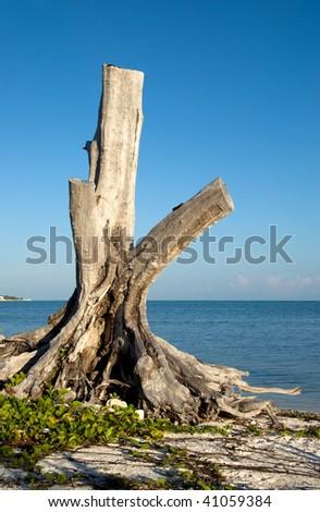 A lone dead tree on shore - stock photo